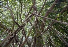 印度榕树图热带雨林的结构树 库存照片