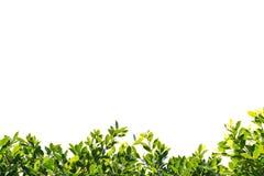 印度榕树在白色背景隔绝的绿色叶子 图库摄影
