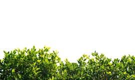 印度榕树在白色背景隔绝的绿色叶子 免版税库存图片