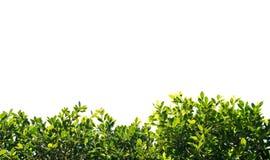印度榕树在白色背景隔绝的绿色叶子 免版税库存照片