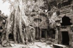 印度榕树复杂prohm ta鸡蛋花 免版税库存照片