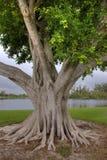 印度榕树大结构树 免版税库存照片