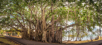 印度榕树大结构树 全景 免版税库存图片