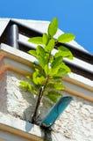 印度榕树寄生生物 图库摄影