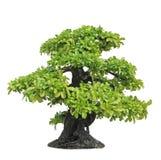印度榕树或榕属盆景树 免版税库存照片