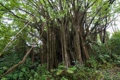 印度榕树无花果树 免版税库存照片