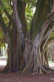 印度榕树根源结构树 库存图片