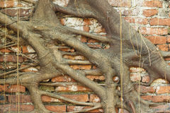 印度榕树根源结构树 免版税库存照片