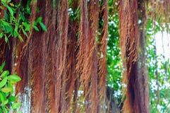 印度榕树根 库存照片