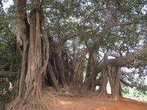 印度榕树爬行物 库存图片