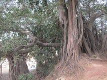 印度榕树爬行物 免版税图库摄影