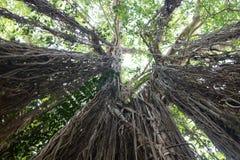 印度榕树生物演化谱系图解 库存照片