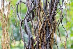 从印度榕树的根 库存图片