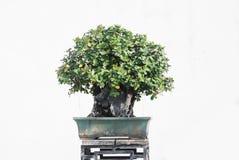 印度榕树盆景结构树 库存照片