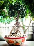 印度榕树盆景 小心地,根 图库摄影