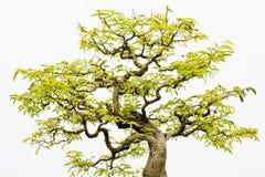 印度榕树盆景 库存照片