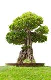 印度榕树绿色盆景树,隔绝在白色背景 免版税库存照片