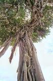 印度榕树 库存照片