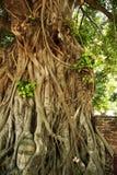 印度榕树buddhas顶头泰国结构树 免版税库存照片
