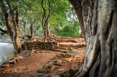 印度榕树hdr结构树 库存图片