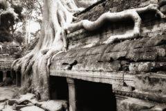 印度榕树prohm根源ta结构树 库存照片