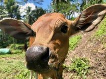 印度母牛在巴厘岛 布朗小母牛 详细资料 特写镜头 免版税库存图片
