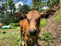 印度母牛在巴厘岛 布朗小母牛 详细资料 特写镜头 库存照片