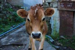 印度母牛,小牛画象  免版税库存图片