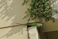 印度玫瑰圈状的长尾小鹦鹉,亦称圆环收缩的长尾小鹦鹉-新的Dekhi,印度 免版税库存图片