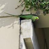 印度玫瑰圈状的长尾小鹦鹉,亦称圆环收缩的长尾小鹦鹉-新的Dekhi,印度 库存图片