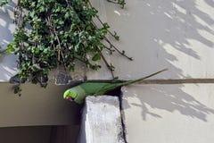 印度玫瑰圈状的长尾小鹦鹉,亦称圆环收缩的长尾小鹦鹉-新的Dekhi,印度 免版税库存照片