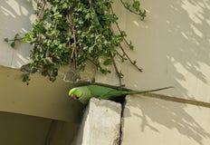 印度玫瑰圈状的长尾小鹦鹉,亦称圆环收缩的长尾小鹦鹉-新的Dekhi,印度 库存照片