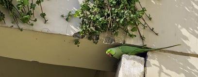 印度玫瑰圈状的长尾小鹦鹉,亦称圆环收缩的长尾小鹦鹉-新的Dekhi,印度 图库摄影