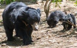 印度的一种长毛熊和小狗 免版税库存照片