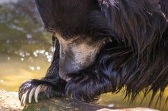 印度的一种长毛熊特写镜头 图库摄影