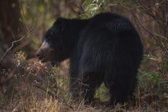 印度的一种长毛熊转动的顶头下面遮荫灌木 库存照片