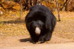 印度的一种长毛熊, Melursus ursinus, Daroji熊圣所,卡纳塔克邦 免版税库存照片