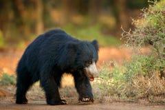 印度的一种长毛熊, Melursus ursinus, Ranthambore国家公园,印度 狂放的印度的一种长毛熊自然栖所,野生生物照片 危险的黑色 免版税库存照片