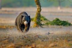 印度的一种长毛熊, Melursus ursinus, Ranthambore国家公园,印度 狂放的印度的一种长毛熊自然栖所,野生生物照片 危险的黑色 图库摄影