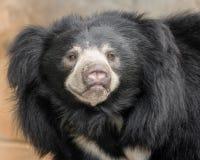 印度的一种长毛熊 图库摄影