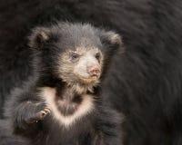 印度的一种长毛熊崽 库存照片