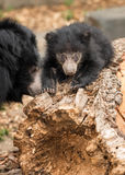 印度的一种长毛熊崽 免版税图库摄影