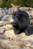 印度的一种长毛熊 库存照片