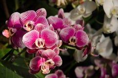 从印度的五颜六色的兰花 免版税图库摄影