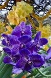 从印度的五颜六色的兰花 免版税库存图片