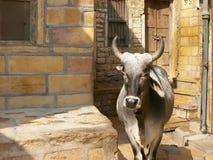 从印度的母牛 库存图片