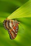 从印度的美丽的蝴蝶 红色草蜻蛉, Cethosia biblis,坐绿色叶子 昆虫在黑暗的热带森林,自然h里 免版税库存照片