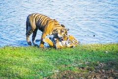 印度的老虎 图库摄影