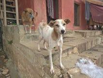 印度的街道狗 免版税库存照片