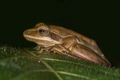从印度的雨蛙 库存照片